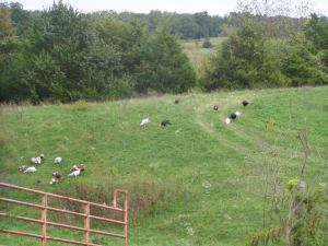 Turkeys roaming pasture, October 2014