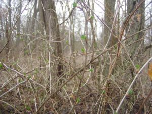 The first green leaves in the woods, tiny though they be, belong to the wild gooseberry bushes.