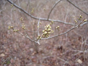 Clustered buds of the blackhaw tree, which open up into broccoli-like flowers come mid-spring, before yielding to dark, sweet fruit clusters by fall.